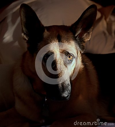 German Shepherd s Face Half Lit