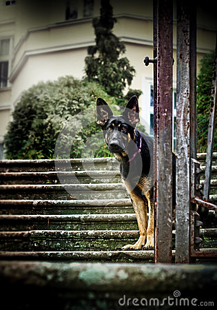 Free German Shepherd Sitting On The Stairs Of The Castle Park Stock Photo - 40814930
