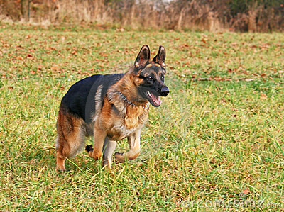 German shepherd starting