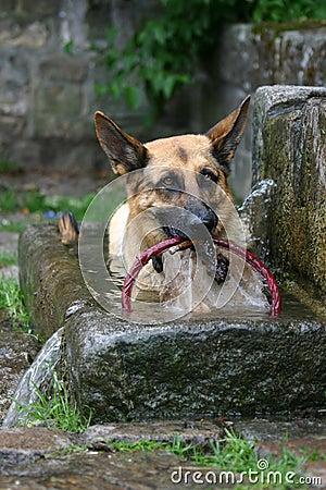 German shepherd taking a bath