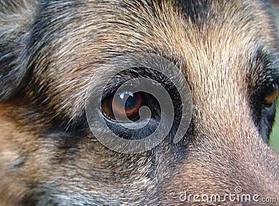 German shepherds eye
