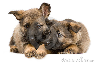 German shepherds puppys
