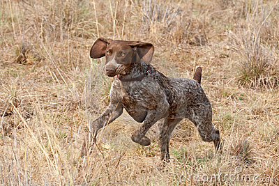 German short hair pointer dog following scent