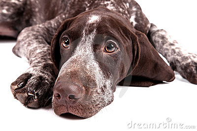German short-haired pointer looks upwards