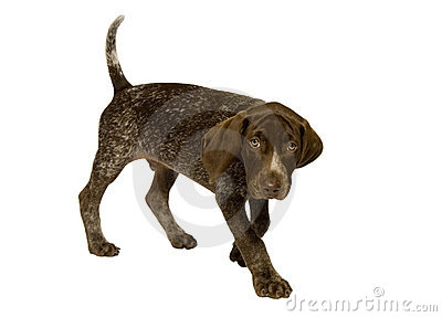 German Short-Haired Pointer puppy