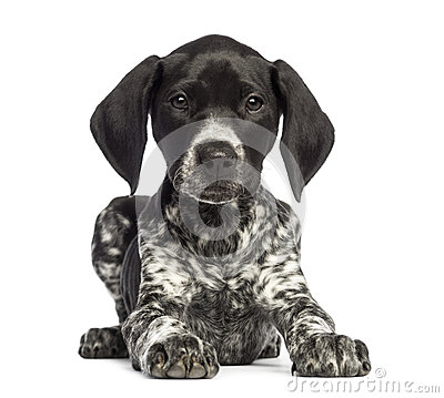 German Shorthaired Pointer, 10 weeks old, lying