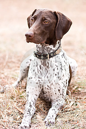 Free German Shorthaired Pointer Dog Sitting In Field Stock Image - 6937271