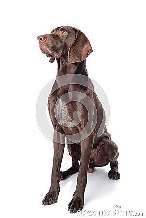 Free German Shorthaired Pointer Kurzhaar Stock Photo - 40167750