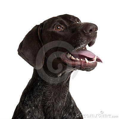 German Shorthaired Pointer, panting