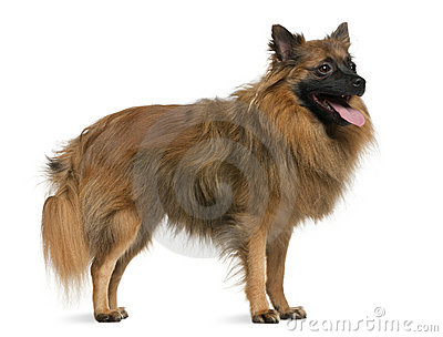 German spitz, 7 years old, standing