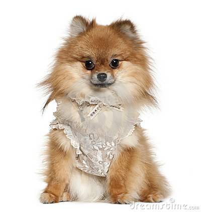 German Spitz dressed in lace