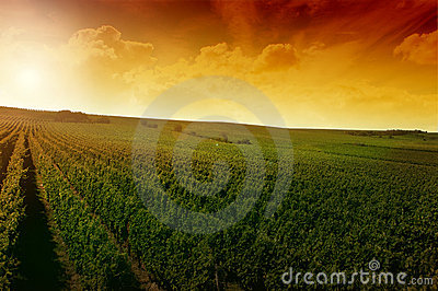 A german vineyard near the rhe