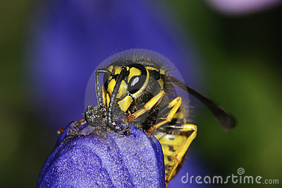 German wasp macro closeup
