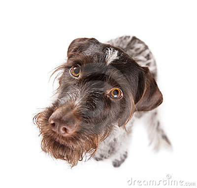 German wire-haired pointer staring