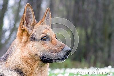Germany sheep-dog portrait