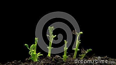 Germinação das sementes dos grãos-de-bico no fundo preto video estoque