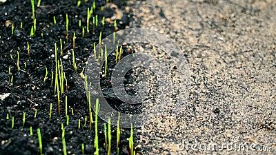 Germinación, cultivo de hierba verde sin asfalto de vida en contraste almacen de video