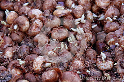Germinated bulbs