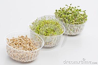 Germinated seeds of cress, radish, wheat