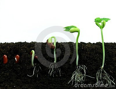 Germinating bean seeds