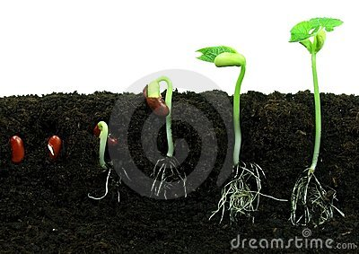 Germination of beans