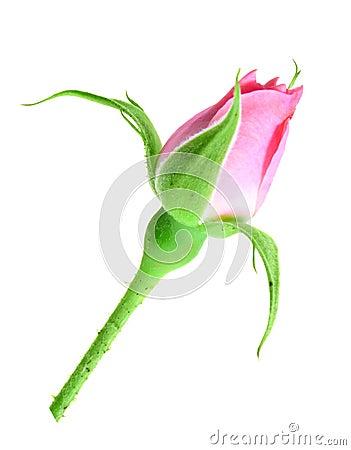 Germoglio di rosa di colore rosa su un gambo verde