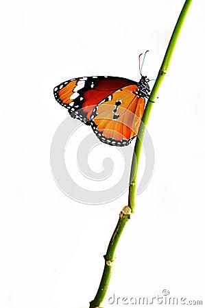 Geïsoleerdeu oranje vlinder op een tak