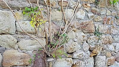 Gesteine einer Kletterpflanze durchstechen die Steine stock footage