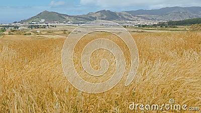 Getreideanlagen, die in den Wind in einem Gebirgstal auf dem Hintergrund der Rollbahn des Flugplatzes beeinflussen stock video footage