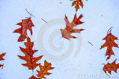 Leaves frozen in the snow