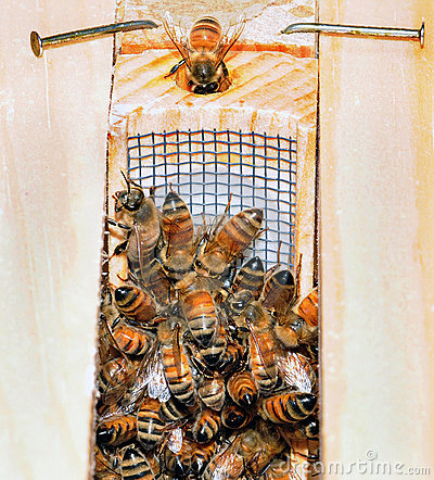 GETTING A NEW QUEEN BEE
