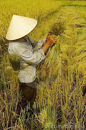 Getting sheaves of rice ears Editorial Photography