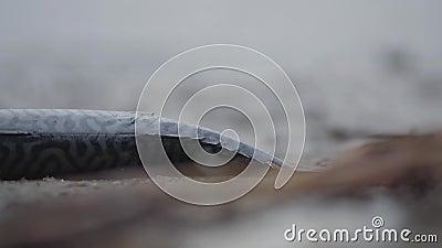 Gevangen op het spinnen roofzuchtige vissen ligt Scomber op het zandstrand na visserij of onweer Sluit omhoog stock footage