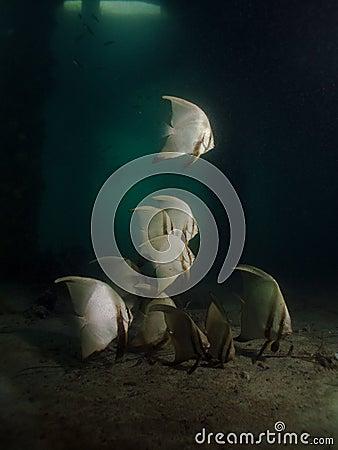 Geveerde pinnatus Batfish - Platax