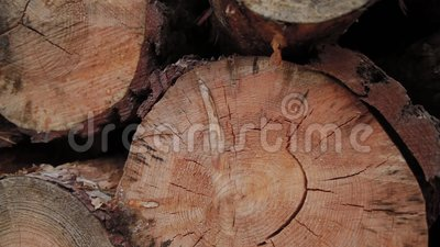 Gevlekte Logboeken die op een Boomstam in de Bosbouw die boomstammen vielen die in een hoop worden geveld De gekapte bomen vallen stock video