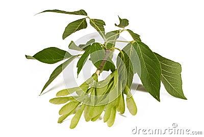 Gevleugelde zaadpeulen en bladeren van een esdoornboom
