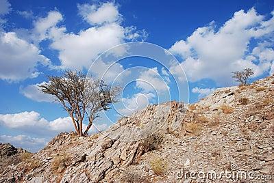 A ghaf tree
