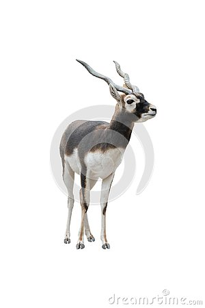 Free Gharna Antelope Antilope Cervicapra Isolated On A White Stock Photos - 142420293