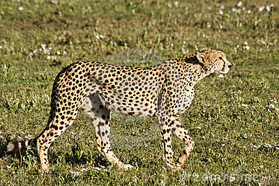 Ghepardo d inseguimento in Serengeti