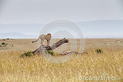 Ghepardo su un albero caduto