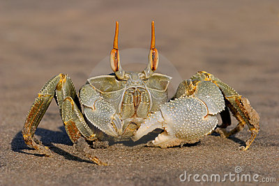 Ghost crab 04