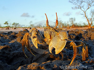 Ghost crab on rocks, Mozambique, southern Africa
