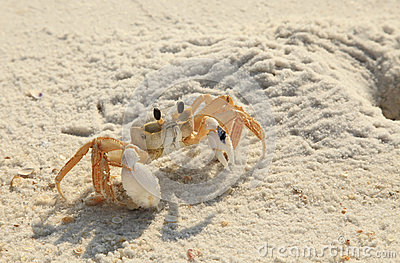 Ghost Crab Ventures Out Of His Hole On White Sand Florida ...