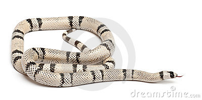Ghost Honduran milk snake, Lampropeltis