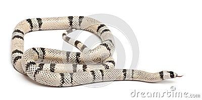 Ghost Honduran milk snake, Lampropeltis