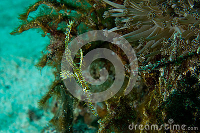 Ghost pipe fish