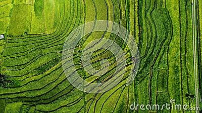 Giacimento del riso in Asia Vista superiore archivi video