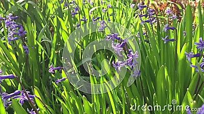 Giacimento di fiore della primavera archivi video