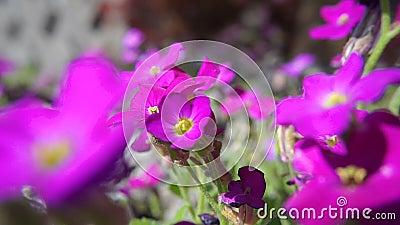 Giacimento di fiore della viola video d archivio