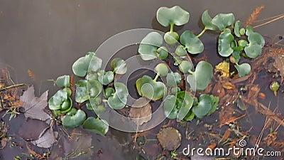 Giacinto d'acqua di galleggiamento della pianta acquatica nel lago di LSU stock footage